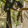 FEMALE WESTERN LONG-TAILED HORNBILL BEING FED BY THE MALE