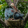 SOUTHERN BALD IBIS<br /> ADULT AND CHICK