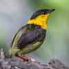 GOLDEN-COLLARED MANAKIN<br /> male