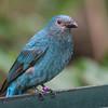 FAIRY BLUEBIRD<br /> female