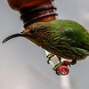 FEMALE PURPLE HONEYCREEPER