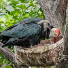 SOUTHERN BALD IBIS CHICK AND MALE ADULT.
