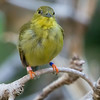 FEMALE GOLDEN-COLLARED MANAKIN