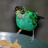 IMMATURE MALE GREEN HONEYCREEPER