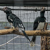 TRUMPETER HORNBILLS<br /> 2 of 3 juveniles that recently fledged the nest.