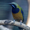 MALE ORANGE-BELLIED LEAFBIRD