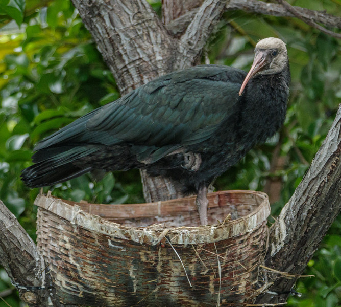 SOUTHERN BALD IBIS<br /> CHICK