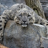 FEMALE SNOW LEOPARD - ANNA