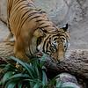 MALAYAN TIGER<br /> BERANI