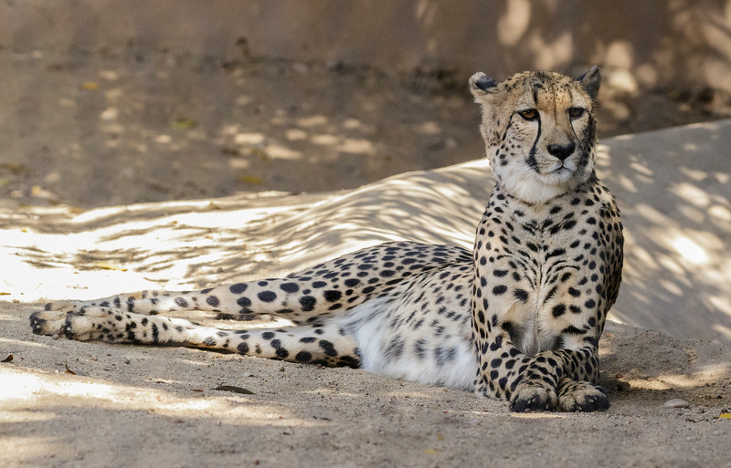 FEMALE SOUTH AFRICAN CHEETAH, AYANA