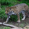 FEMALE JAGUAR - NINDIRI