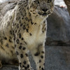 FEMALE SNOW LEOPARD, ANNA