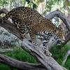 MALE JAGUAR CUB - VALERIO<br /> Born 3/12/2015.