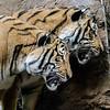 MALE MALAYAN TIGERS <br /> BERANI AND CINTA