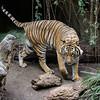 MALE MALAYAN TIGER - BERANI