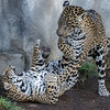 6½ month old male Jaguar cub, Valerio with mom Nindiri.