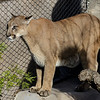 MALE MOUNTAIN LION - KIMA