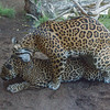 JAGUAR<br /> GUAPO AND NINDIRI