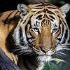 MALE MALAYAN TIGER <br /> CINTA