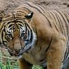 MALE MALAYAN TIGER <br /> BERANI