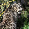 MALE SNOW LEOPARD - RAMIL