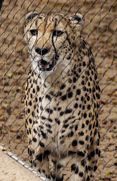 AYANA, A FEMALE SOUTH AFRICAN CHEETAH.
