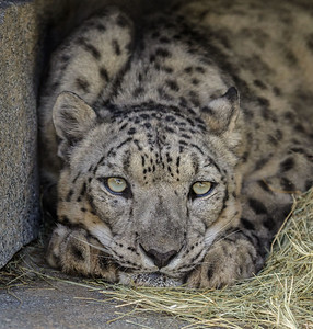 FEMALE SNOW LEOPARD ANNA