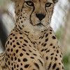 BAKKA, A MALE SOUTH AFRICAN CHEETAH.