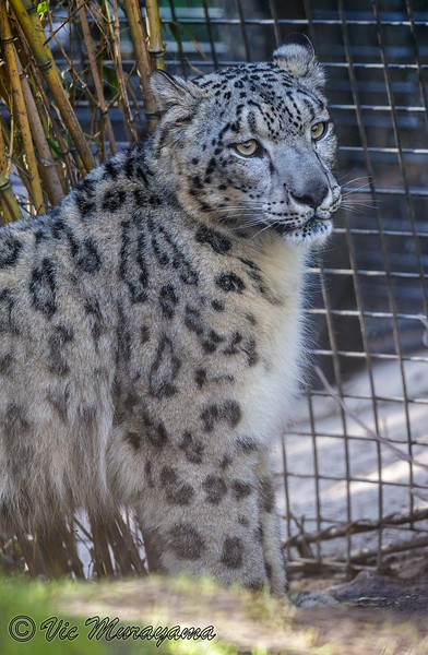 PENNY, A FEMALE SNOW LEOPARD
