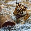 MALAYAN TIGER<br /> CINTA