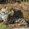 FEMALE JAGUAR<br /> NINDIRI