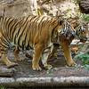 MALAYAN TIGERS<br /> BERANI & CINTA