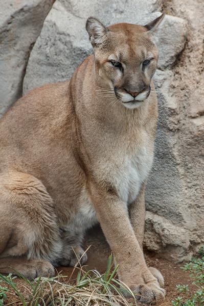 MALE MOUNTAIN LION<br /> KIMA