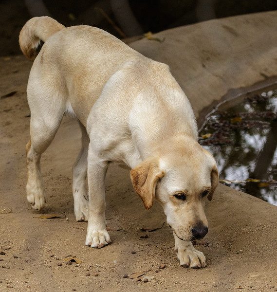 HONEY, A FEMALE LABRADOR RETRIEVER COMPANION TO FEMALE CHEETAH AYANA.