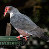 BARE-EYED MOUNTAIN PIGEON