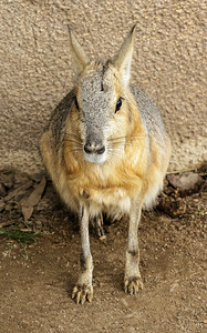PATAGONIAN MARA (ALSO KNOWN AS THE PATAGONIAN CAVY).