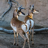 MALE PRONGHORNS