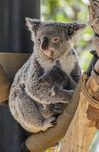 QUEENSLAND KOALA CAMBEE WITH HER APPROX. 7 MONTH OLD JOEY.