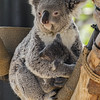 QUEENSLAND KOALA<br /> CAMBEE WITH HER APPROX. 7 MONTH OLD JOEY.