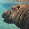 OTIS, A MALE RIVER HIPPOPOTAMUS.