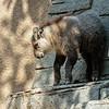 SICHUAN TAKIN<br /> Hsi Hsi, a female calf born 5/22/2016.