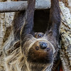 CONSUELO AND HER BABY TWO-TOED SLOTH