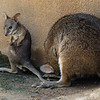 FEMALE PARMA WALLABY WITH HER JOEY.