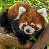 CLARK, A MALE RED PANDA