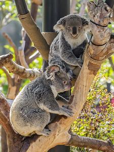 QUEENSLAND KOALAS WANNEROO AND CAMBEE