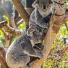 QUEENSLAND KOALAS<br /> WANNEROO AND CAMBEE