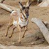 PENINSULAR PRONGHORN