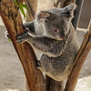QUEENSLAND KOALA<br /> WANNEROO WITH A JOEY IN HER POUCH.