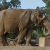 FEMALE ASIAN ELEPHANT - MARY