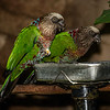 HAWK-HEADED PARROTS